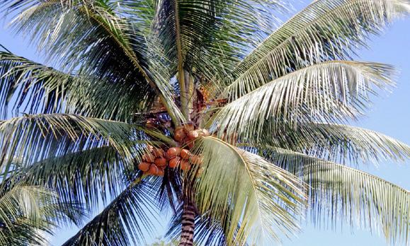 美容に嬉しいココナッツオイル